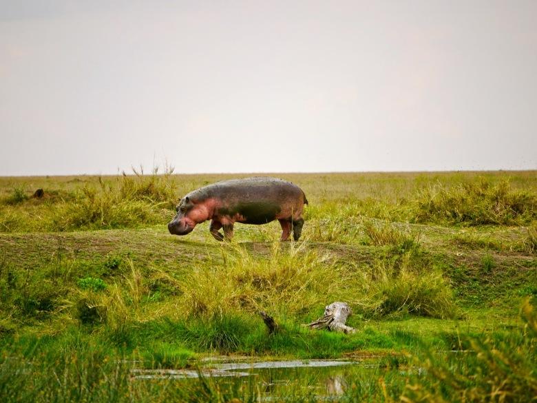 Hippo, Serengeti