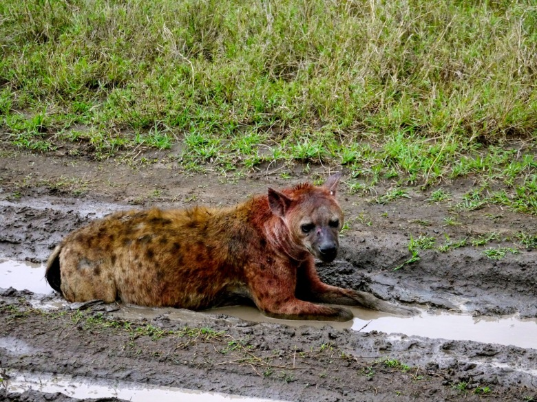 Hyena after his meal, Serengeti