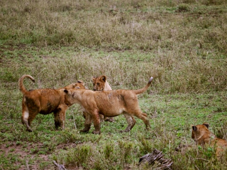 Lion cubs, Serengeti